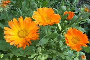 kalendula-solnechnyj-cvetok-dlya-krasoty-i-zdorovya-1