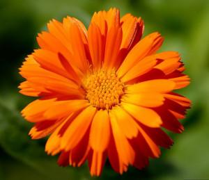 kalendula-solnechnyj-cvetok-dlya-krasoty-i-zdorovya