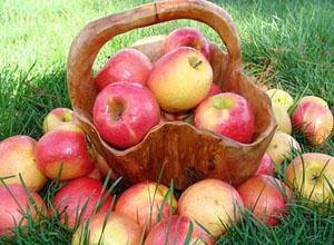 яблоки наливные осенние