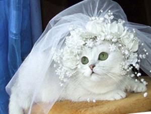 фата невесты на котенке